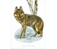 Natur Kunstdruck Wolf