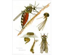 Natur Kunstdruck Stechmücke/Regenbremse