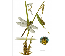 Natur Kunstdruck Libelle