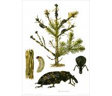 Natur Kunstdruck Großer Rüsselkäfer