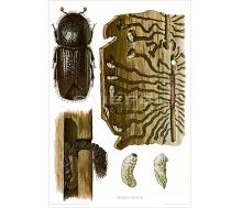 Natur Kunstdruck Fichtenborkenkäfer