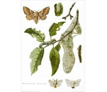 Natur Kunstdruck Goldafter/Ringelspinner