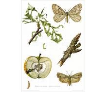 Natur Kunstdruck Frostspinner/Apfelwickler