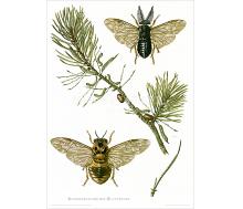 Natur Kunstdruck Kiefernbuschhorn-Blattwespe
