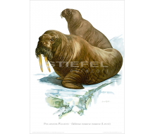 Natur Kunstdruck Walross