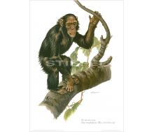 Natur Kunstdruck Schimpanse
