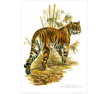 Natur Kunstdruck Königstiger
