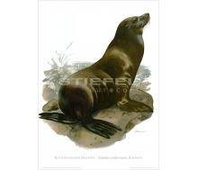 Natur Kunstdruck Kalifornischer Seelöwe