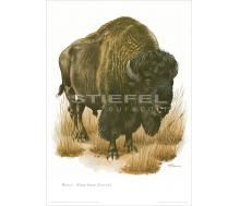 Natur Kunstdruck Bison