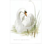 Natur Kunstdruck Höckerschwan