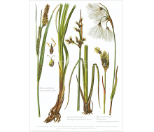 Natur Kunstdruck Segge / Teichbinse