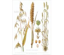 Natur Kunstdruck Hafer / Weizen
