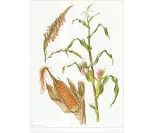 Natur Kunstdruck Mais
