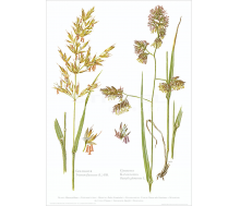 Natur Kunstdruck Goldhafer / Knäuelgras
