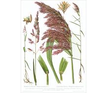 Natur Kunstdruck Glanzgras / Schilfrohr