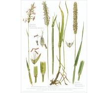 Natur Kunstdruck Ruchgras / Lieschgras