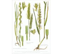 Natur Kunstdruck Raygras / Kammgras / Quecke