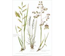 Natur Kunstdruck Zwenke / Borst / Zittergras